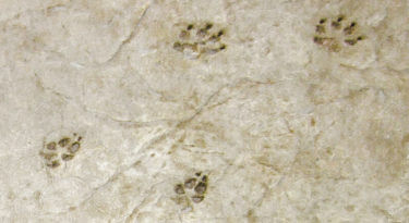 Gray Wolf Paw Print Set of Two Stamp Sample